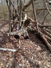 fallen tree 3